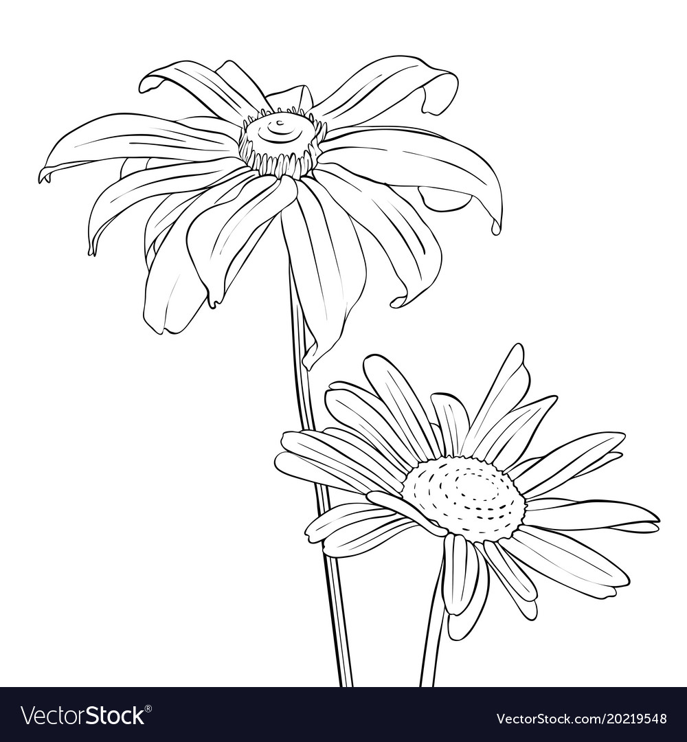 Drawing flowers of daisy royalty free vector image drawing flowers of daisy vector image izmirmasajfo
