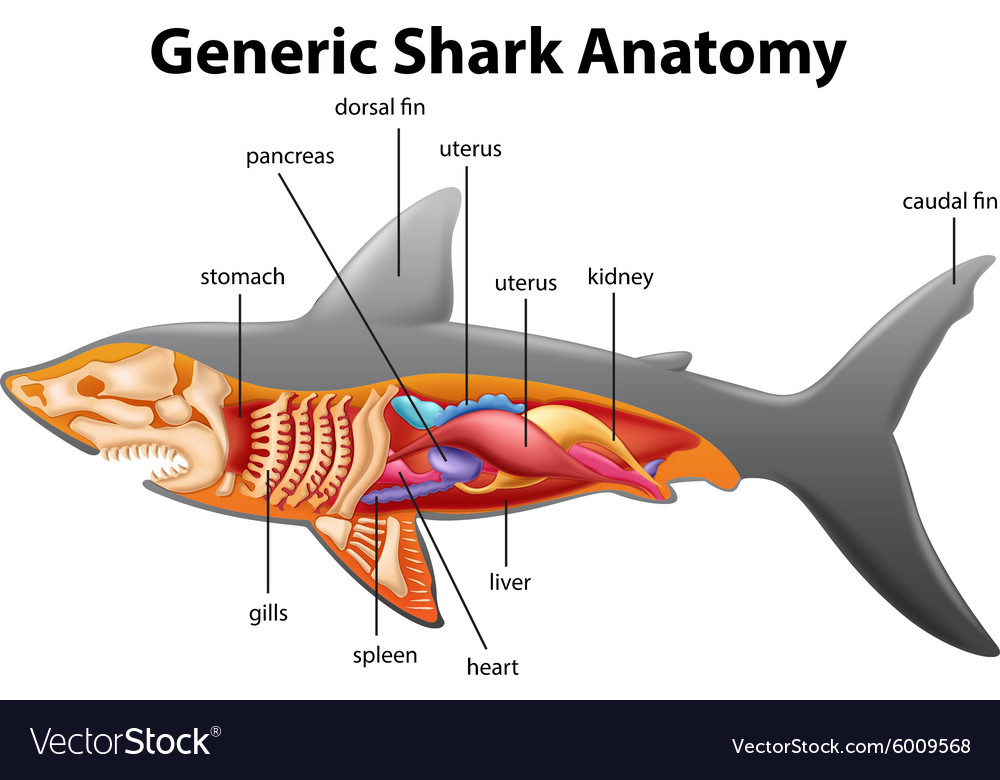 Generic Shark Anatomy Chart Royalty Free Vector Image