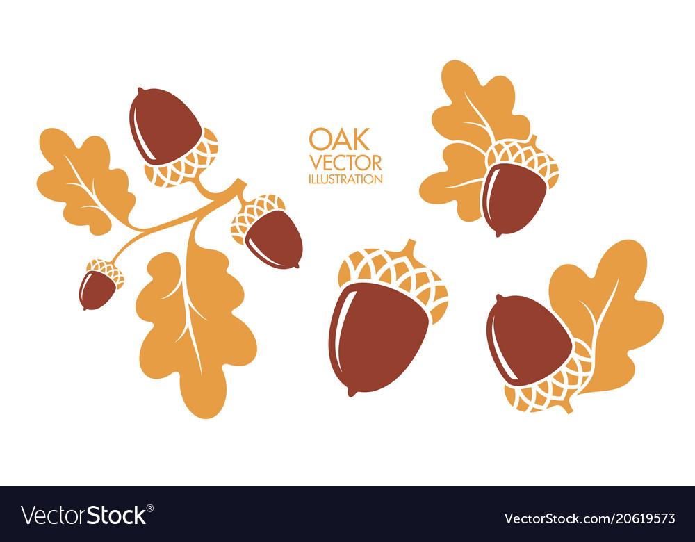 Isolated oak and acorns on white background