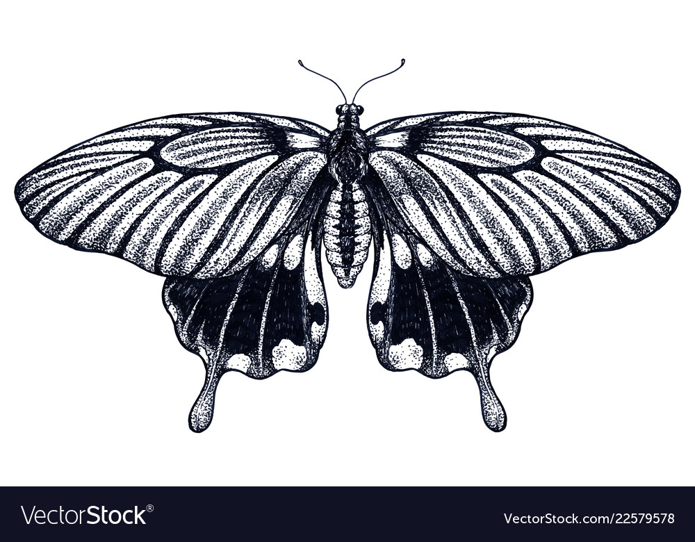977dd2988 Butterfly tattoo sketch tropical butterflysymbol Vector Image
