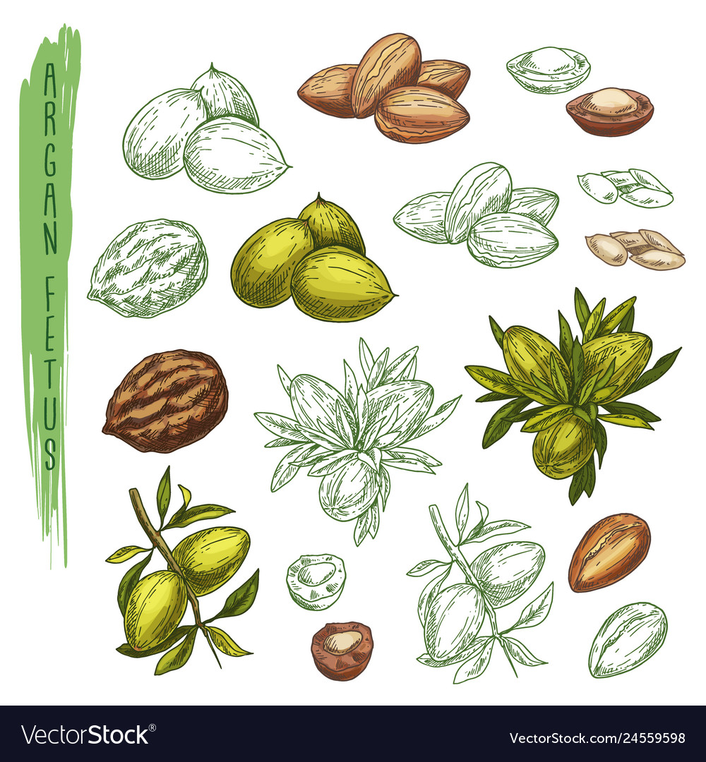 Sketch of argan plant or argania houseplantnature