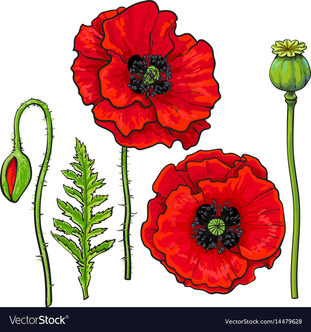 Hand drawn set of red poppy flower bud pod leaf vector image mightylinksfo