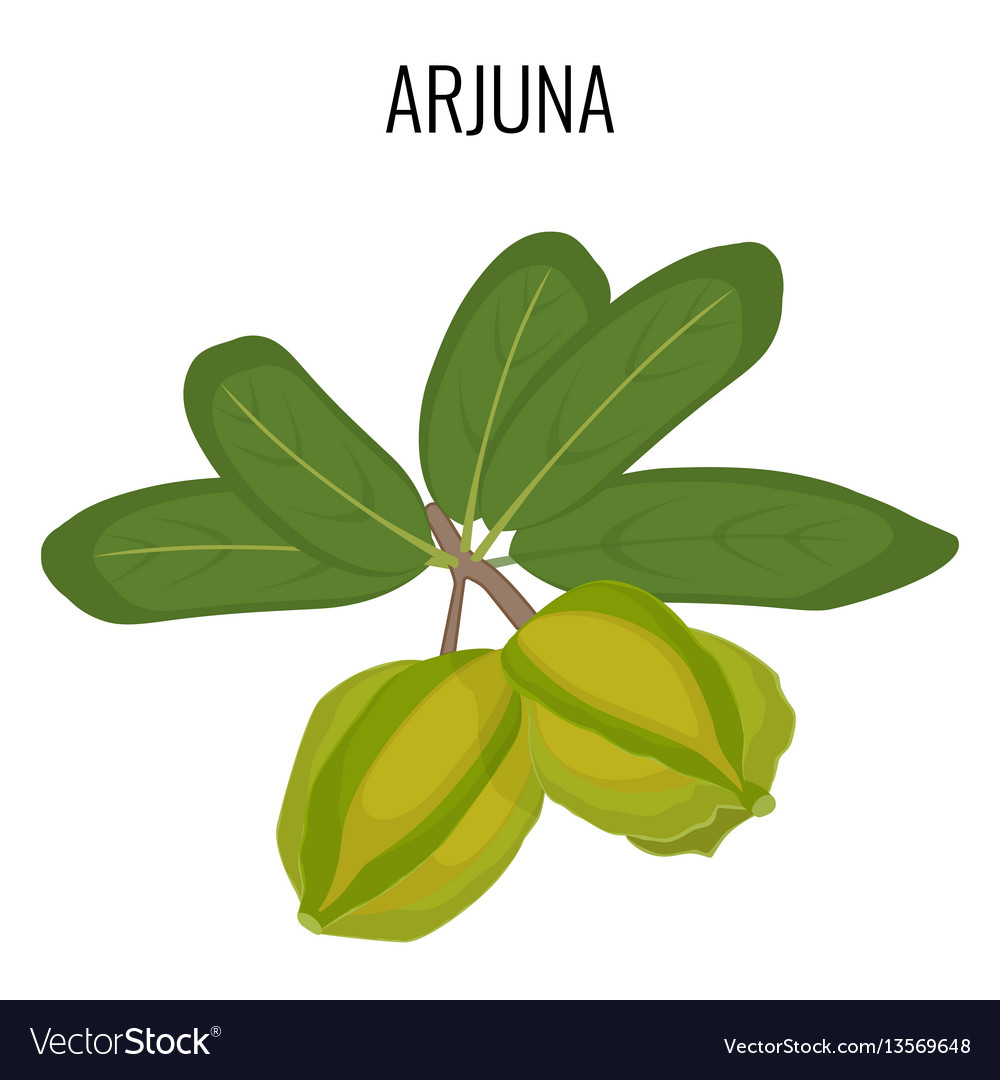 Arjuna ayurvedic medicinal herb isolated white vector image