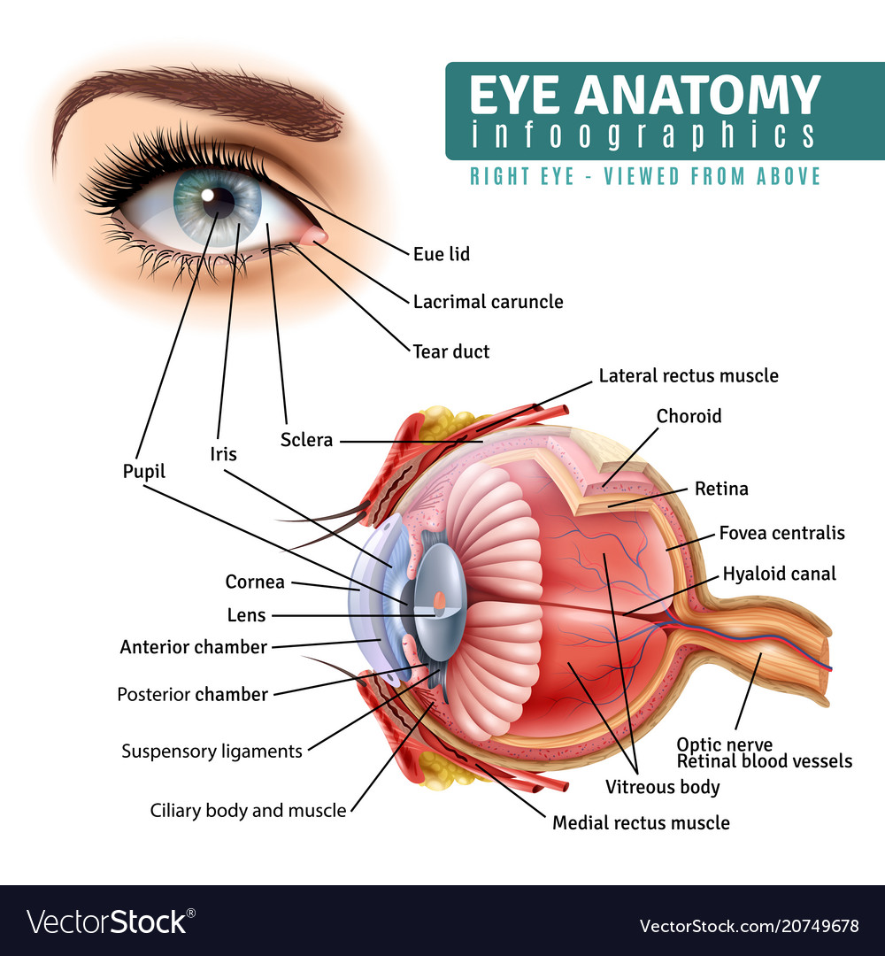 Realistic eye anatomy infographics Royalty Free Vector Image