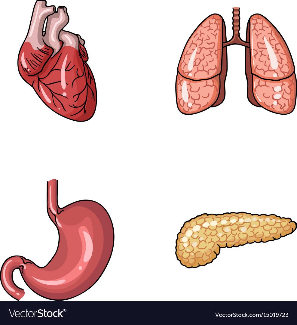 Heart lungs stomach pancreas human organs set Vector Image