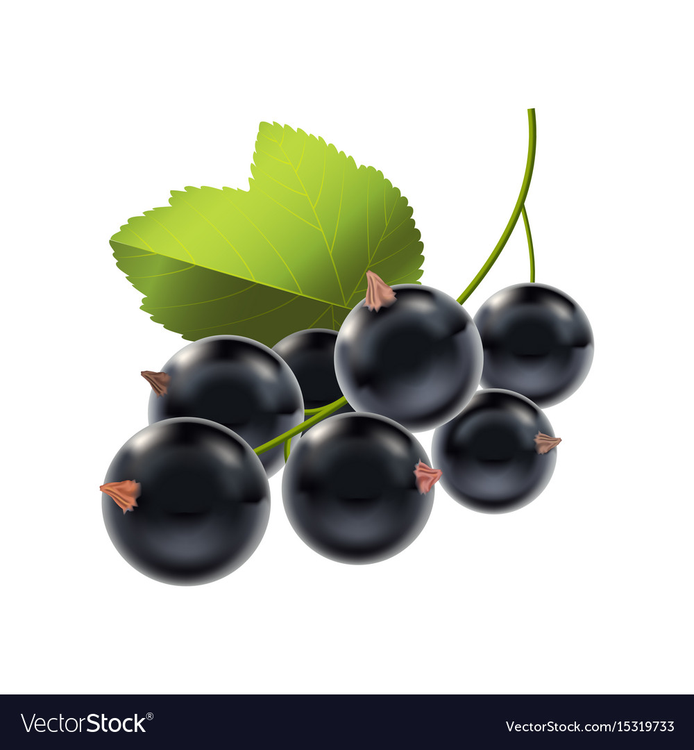 Realistic detailed ripe black berry currant vector image