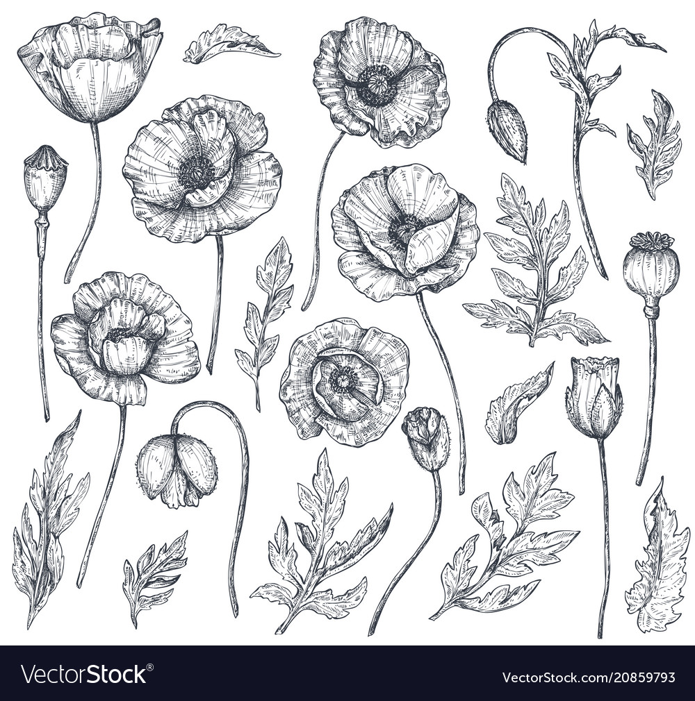 Collection of hand drawn poppy flowers