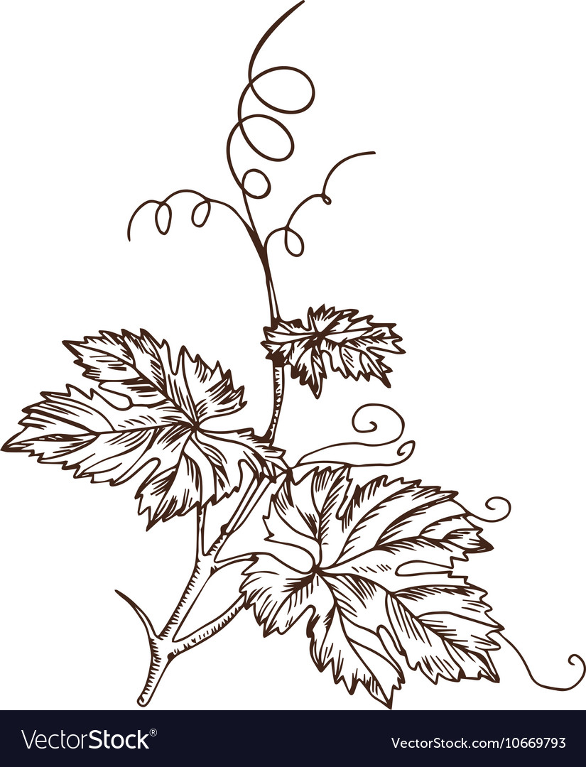 Grape Leaves In Style A Sketch Royalty Free Vector Image