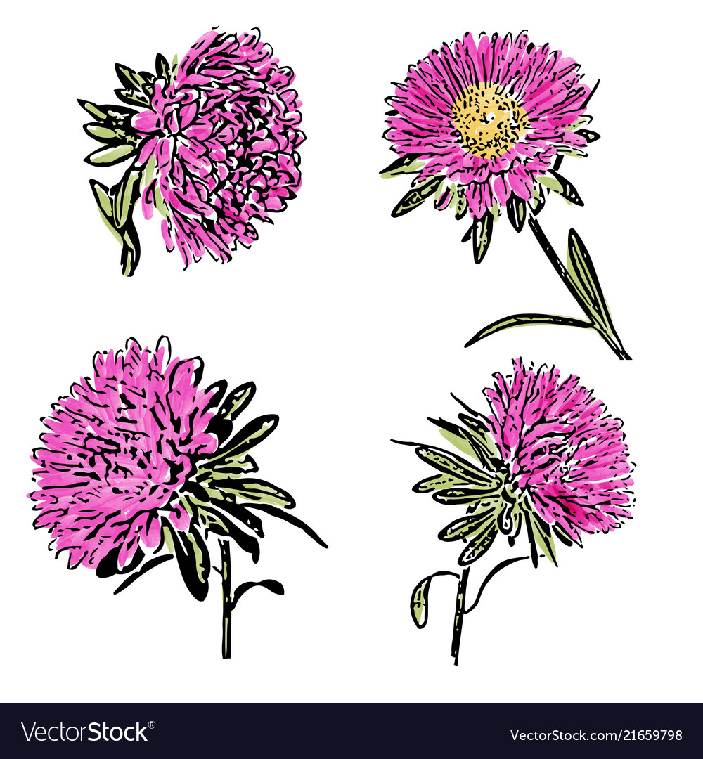 Watercolor Aster Flower Isolated On White Vector Image