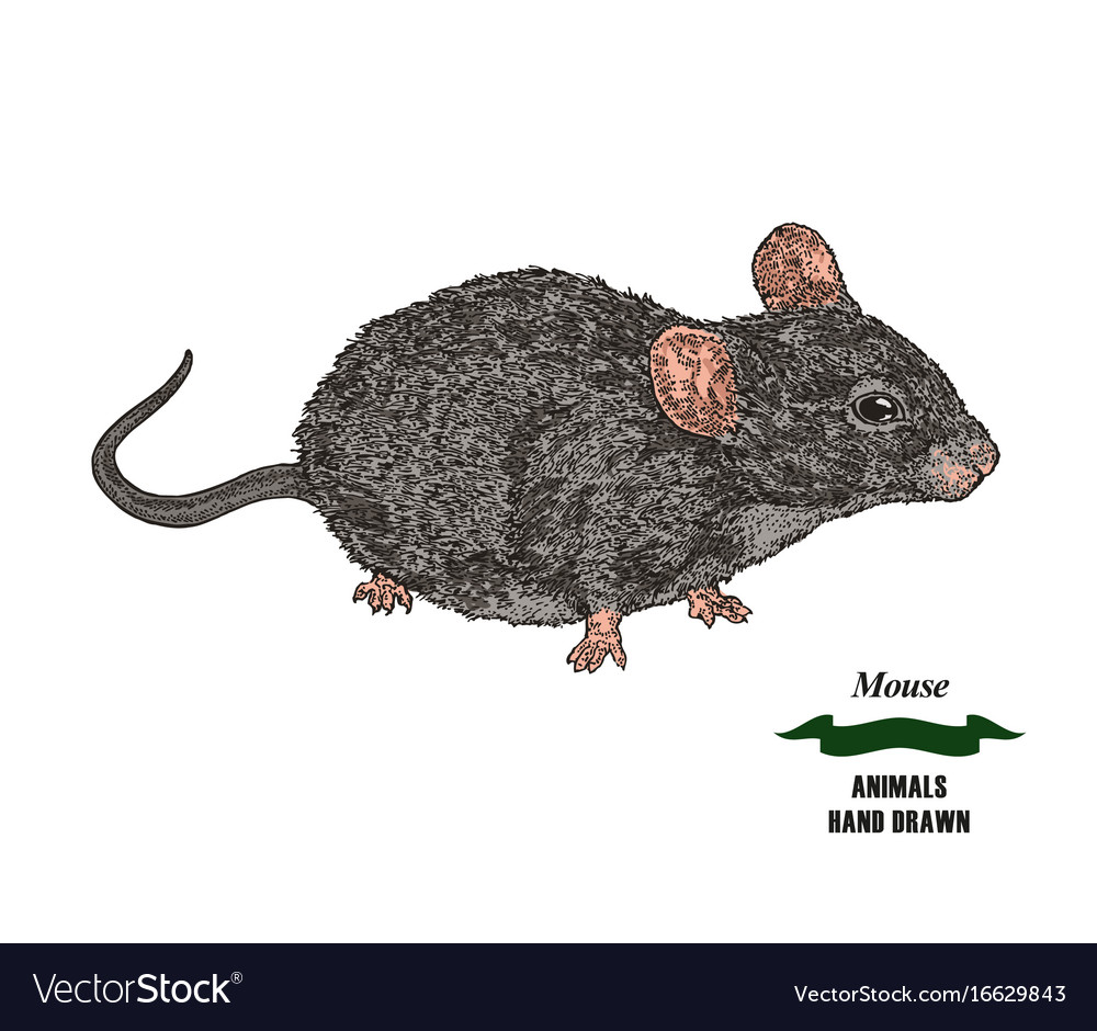 Hand drawn mouse or rat animal colored sketch on vector image