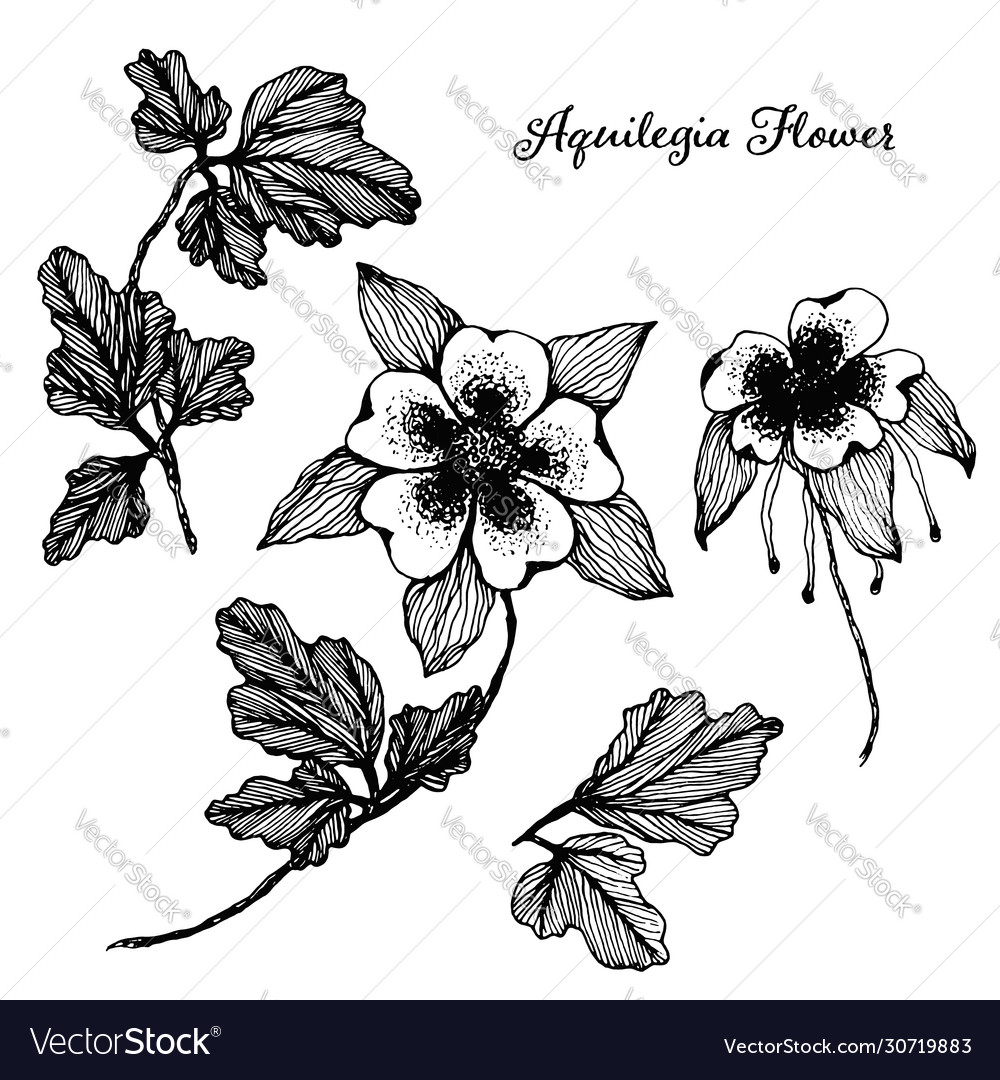 Set hand drawn sketch aquilegia flowers