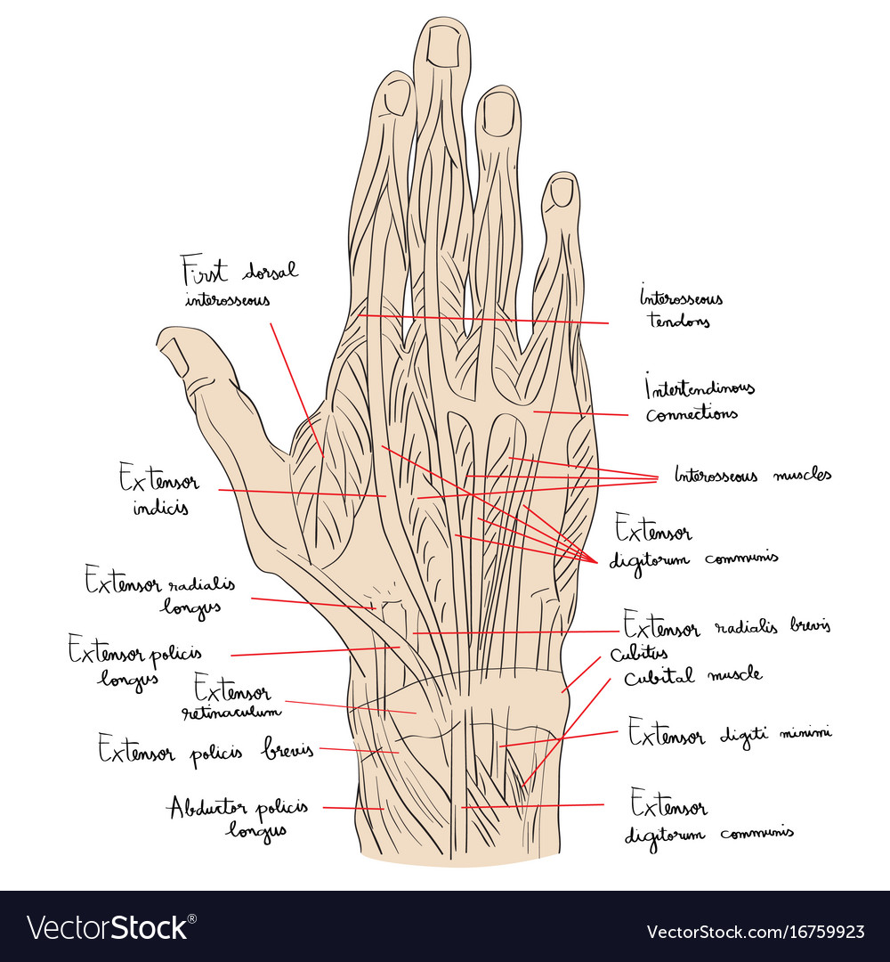 Hand dorsal muscles color