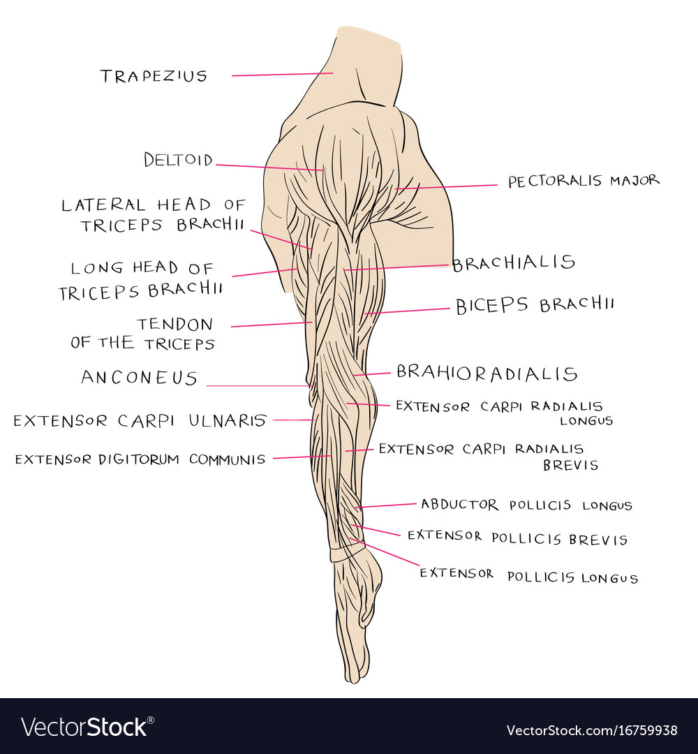 Lateral Muscles Of Arm Color Royalty Free Vector Image