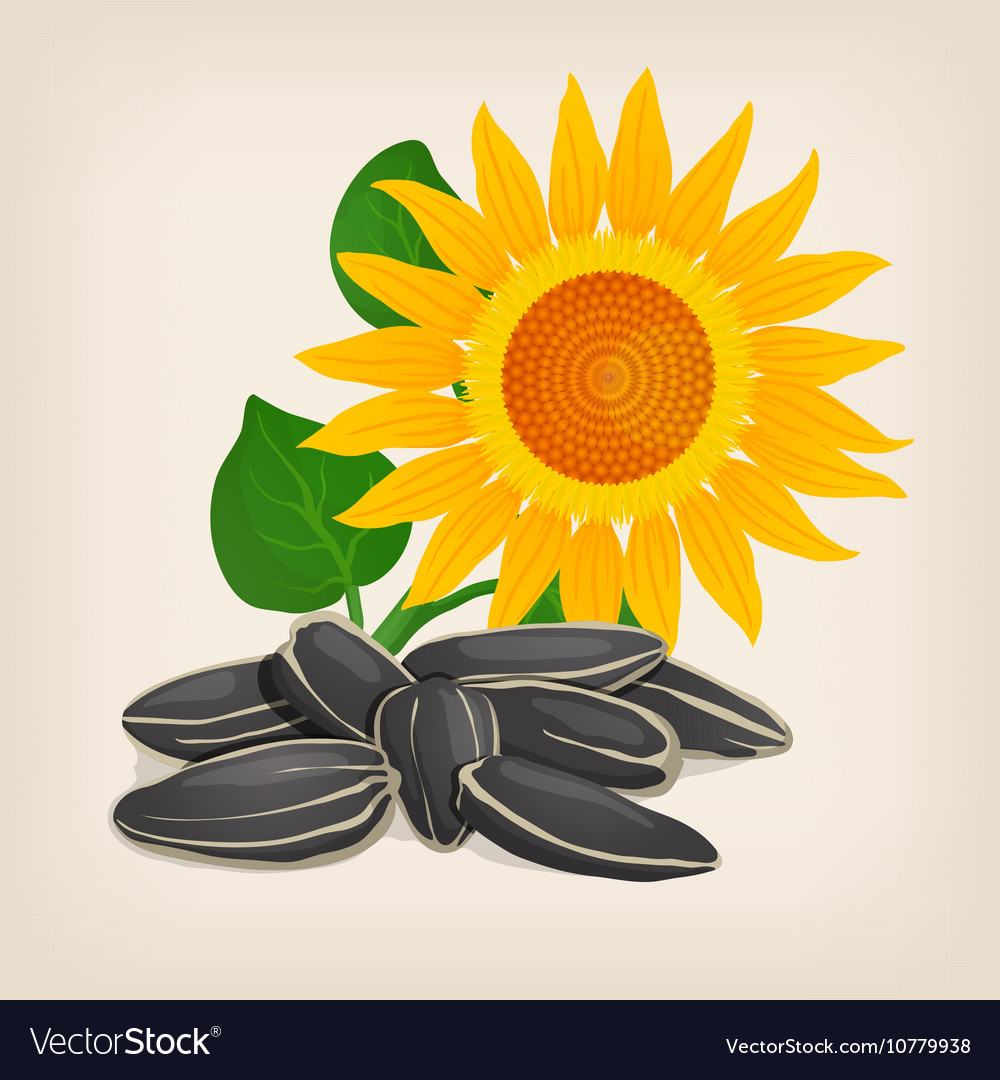 Sunflower Seeds Royalty Free Vector