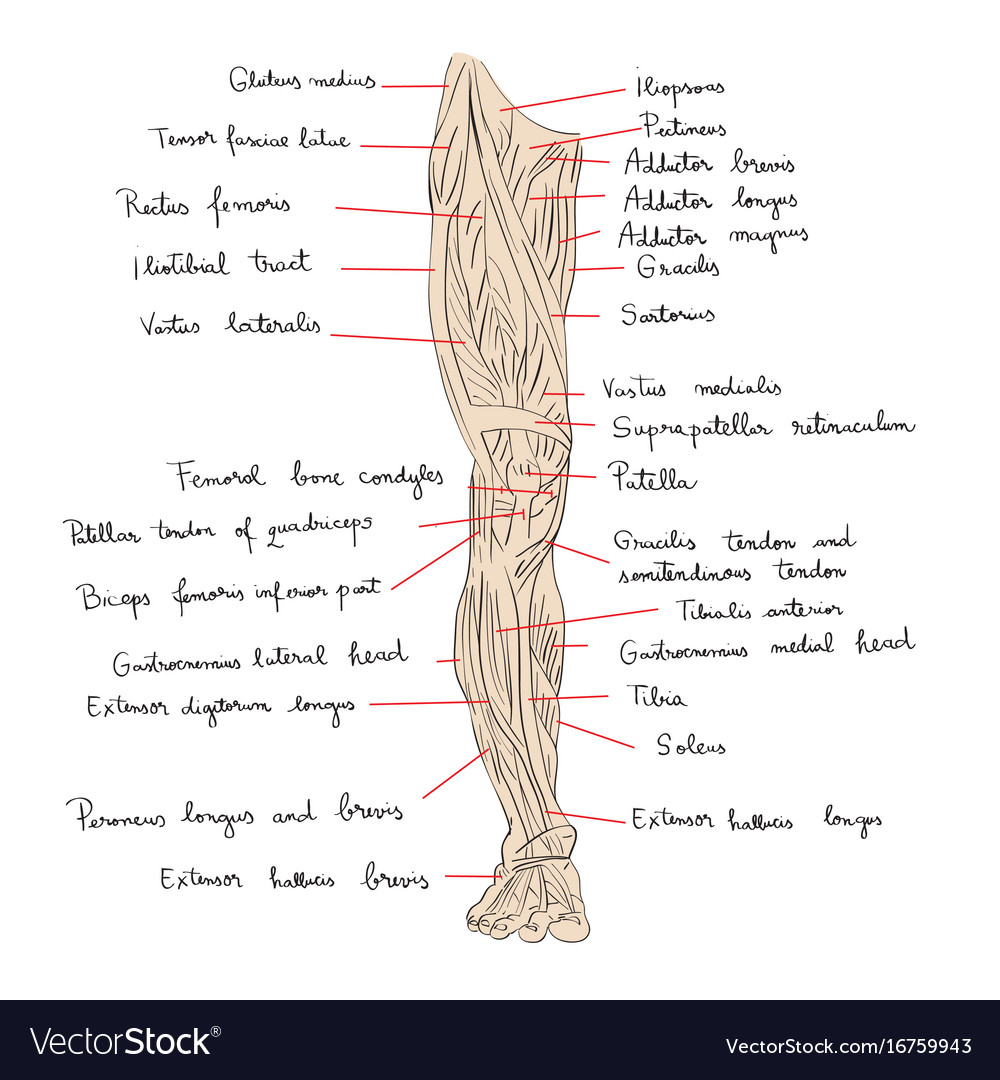 Leg muscles front color