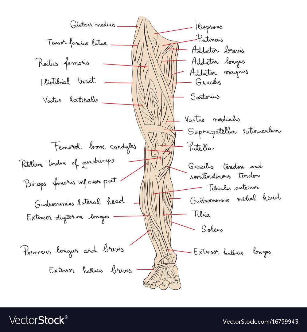 Leg muscles front color vector image