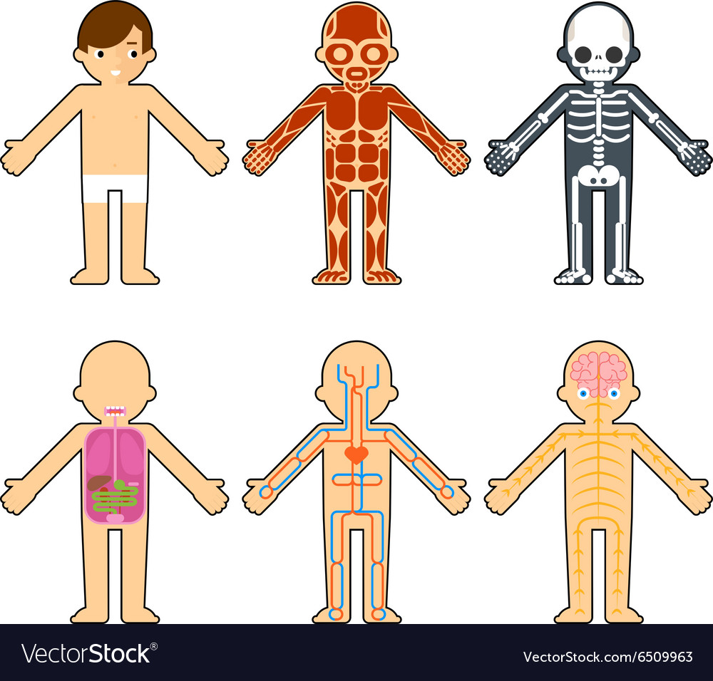 Body Anatomy For Kids Royalty Free Vector Image