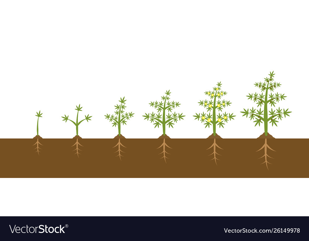Infographic cannabis plant growth stages