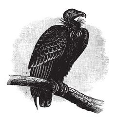 California condor vintage vector