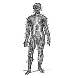 Front view of the superficial muscles of the body vector