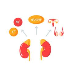 Functions of adrenal glands diagram vector