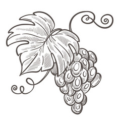 grapes bunch isolated sketch drawing berries vector image