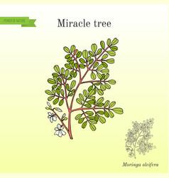 Miracle tree moringa oleifera medicinal plant vector