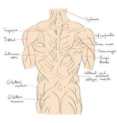 torso muscles back vector image