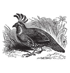 California partridge vintage vector