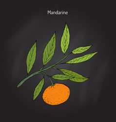 Mandarin orange branch vector
