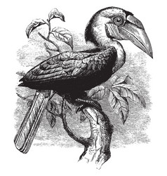Plait billed hornbill vintage vector
