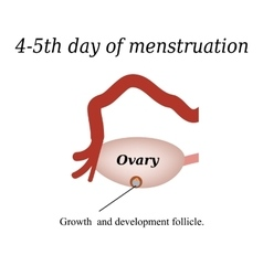 4-5 day of menstruation - the growth and vector image
