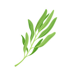 Kitchen herb for food preparation and garnish vector