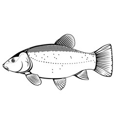 Tench fish black and white vector