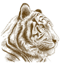 Engraving of tiger head vector