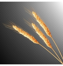 Wheat ears isolated EPS 10 vector image