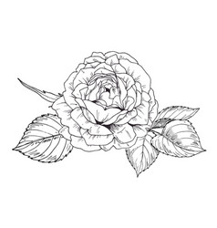 hand drawn rose flower in contour vector image vector image
