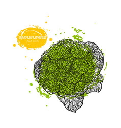 cauliflower hand drawn in the vector image