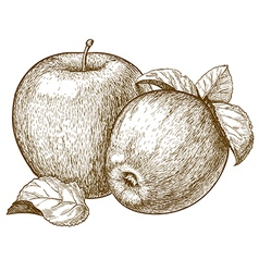 Engraving two apples vector