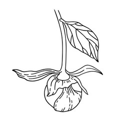 Unblown peony bud and leaf vector