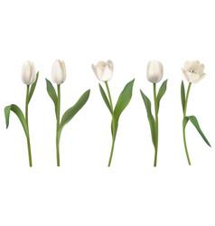 white realistic tulips vector image