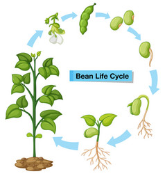 Diagram showing bean life cycle vector