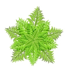 Plant of fern family on white background vector image