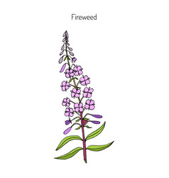 fireweed chamerion angustifolium vector image