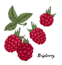 hand drawn color sketch berries ripe raspberry vector image vector image