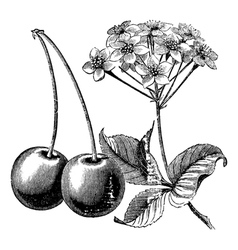 Cherry with leaves and flowers vintage engraving vector image