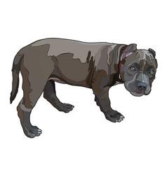 Pitbull vector