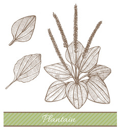 Plantain in hand drawn style vector