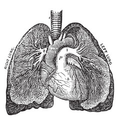 The pulmonary artery vintage vector