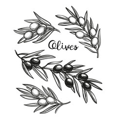 hand drawn of olive branches vector image